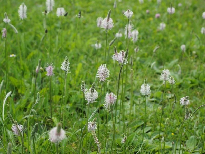 nature-grass-blossom-plant-white-field-902169-pxhere.com.jpg
